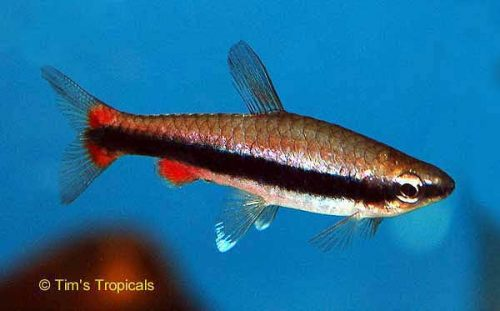 Beckford's Pencilfish, Nannostomus Beckfordi