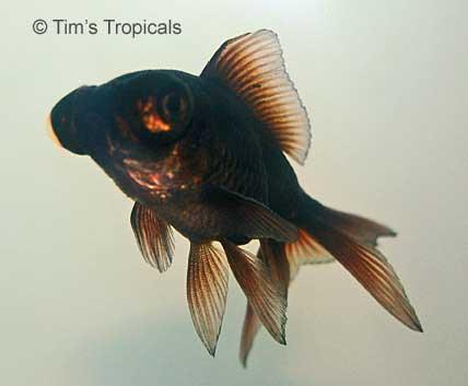 Black Moor Goldfish, Carassius Auratus