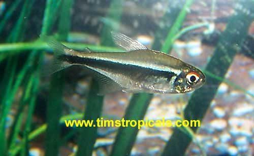 Black Neon Tetra, Hyphessobrycon Herbertaxelrodi