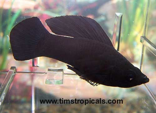 Black Sailfin Molly, Poecilia Latipinna
