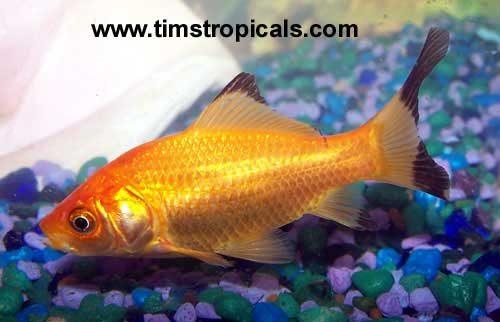 Comet Goldfish, Carassius Auratus