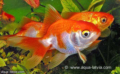 Fantail Goldfish, Carassius Auratus