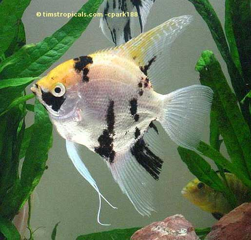 Koi Angelfish, Pterophyllum Scalare