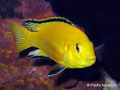 Lemon Yellow Lab, Labidochromis Caeruleus