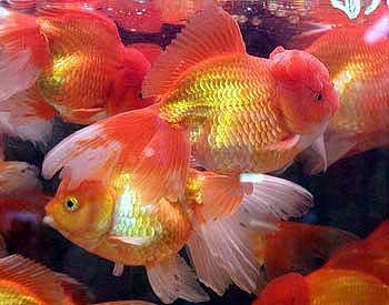 Oranda Goldfish, Carassius Auratus