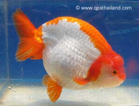 Ranchu Goldfish, Carassius Auratus