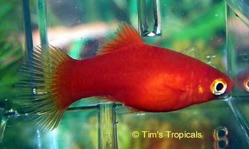 Red Platy Female, Xiphophorus Maculatus