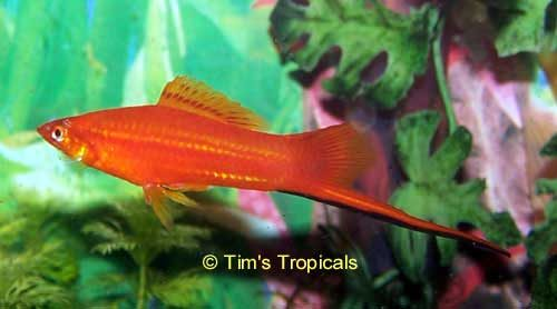 Red Swordtail Male, Xiphophorus Hellerii