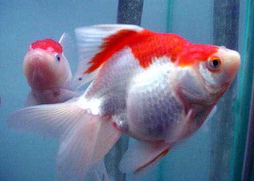 Ryukin Goldfish, Carassius Auratus